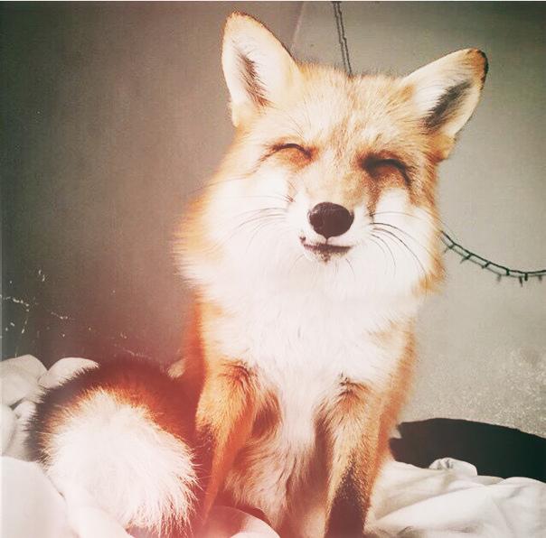 Cute fox animal