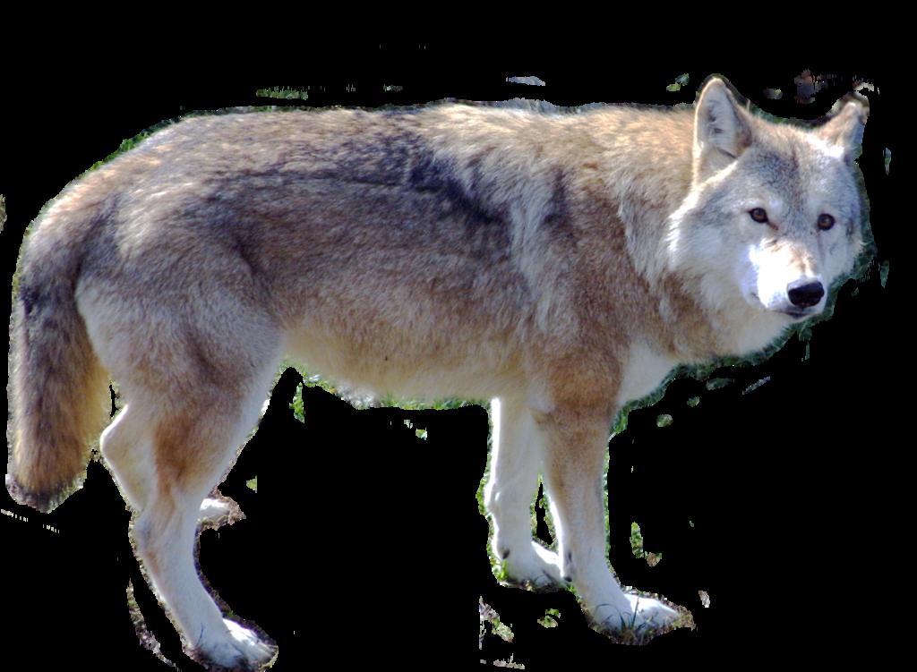 Картинки для детей волки