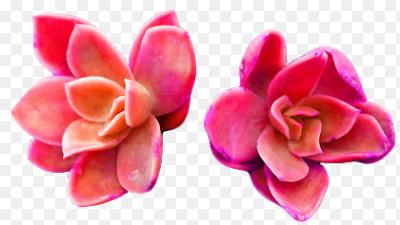 Plant Plants Plantsarefriends Pink Orange Tumblr Tumbler Succulent