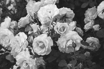 черно белые розы картинки