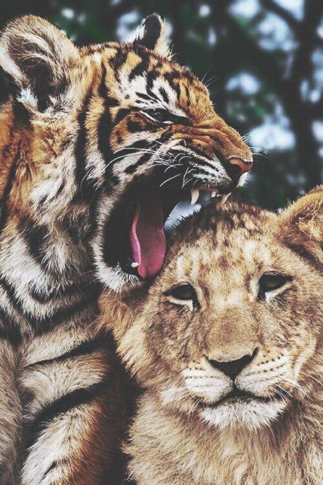 Картинка лев тигр