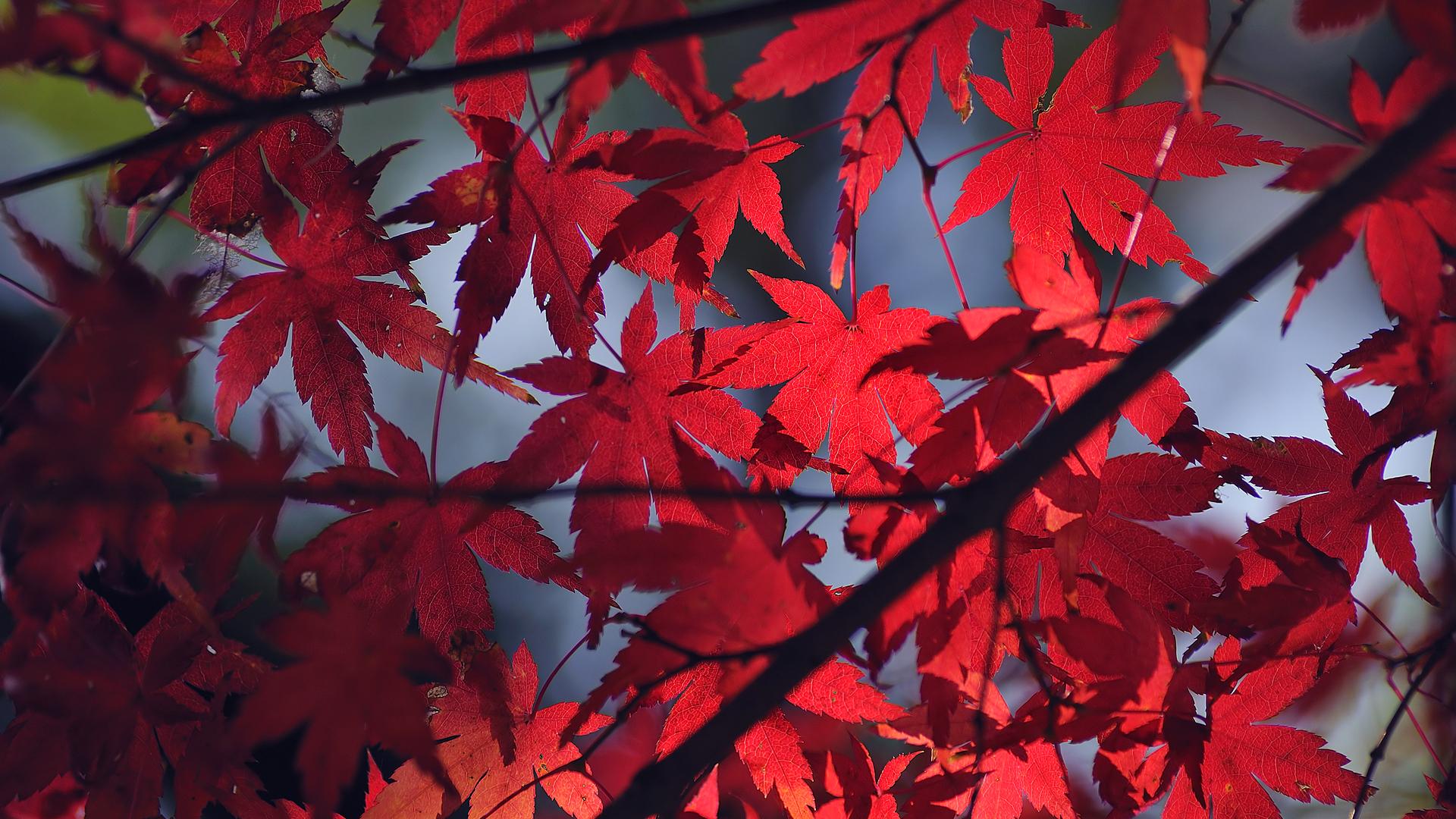 Осень красные листья загрузить
