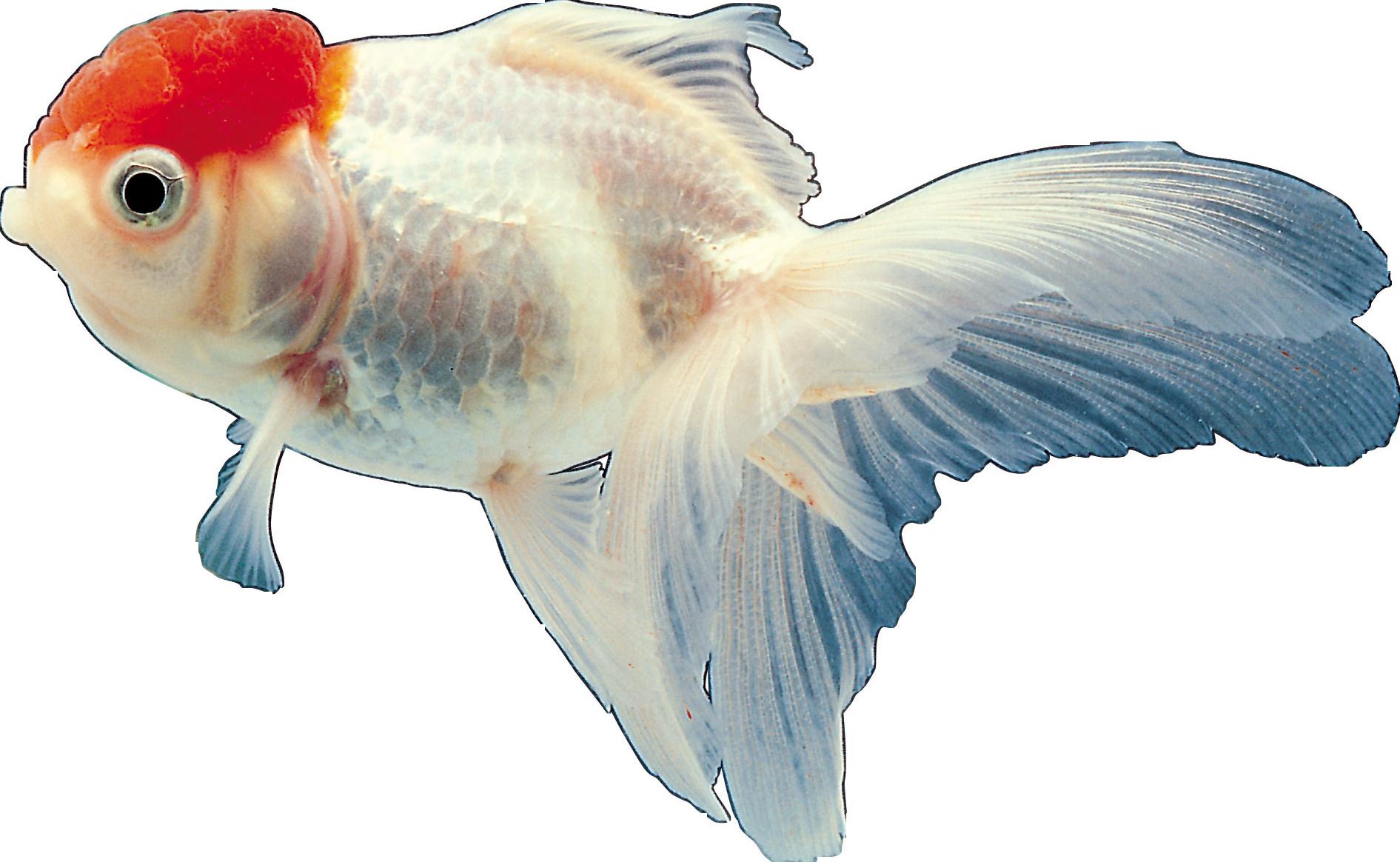 рыбки для аквариума картинки на белом фоне организация была прибыльной