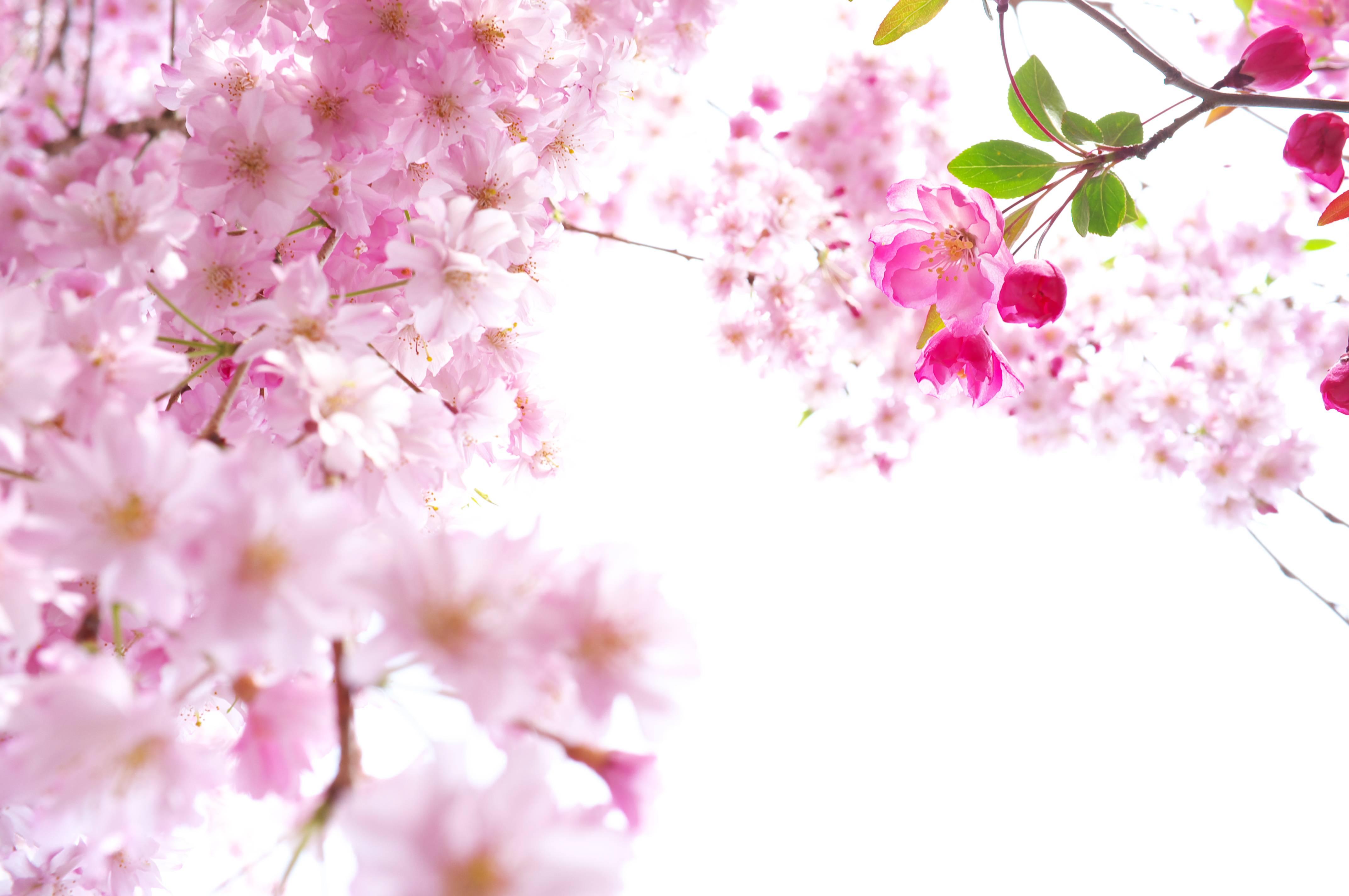 Открытки с цветущей сакурой, картинках про