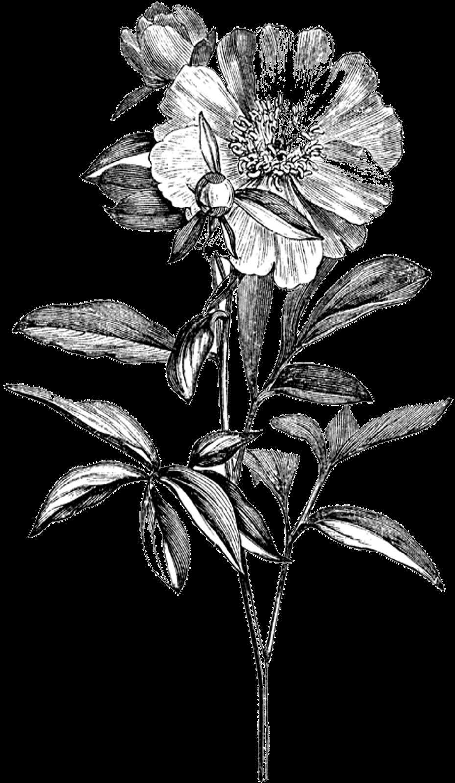 Цветы графика пнг чб, магазин семян цветов